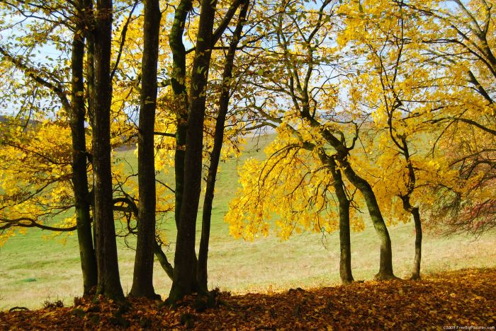 fall-yellow-trees